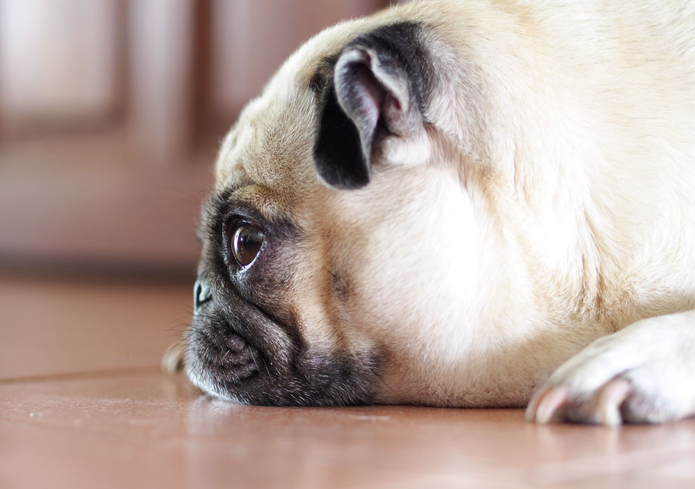 pugs often have breathing difficulty