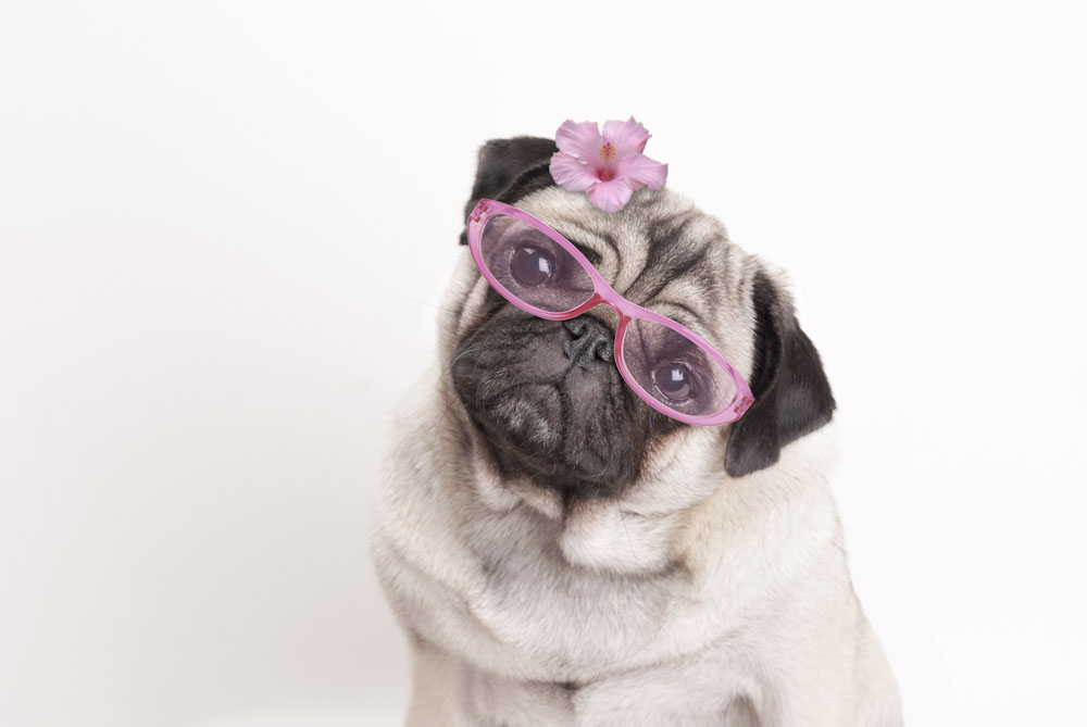 Pug eyes are prone to injury