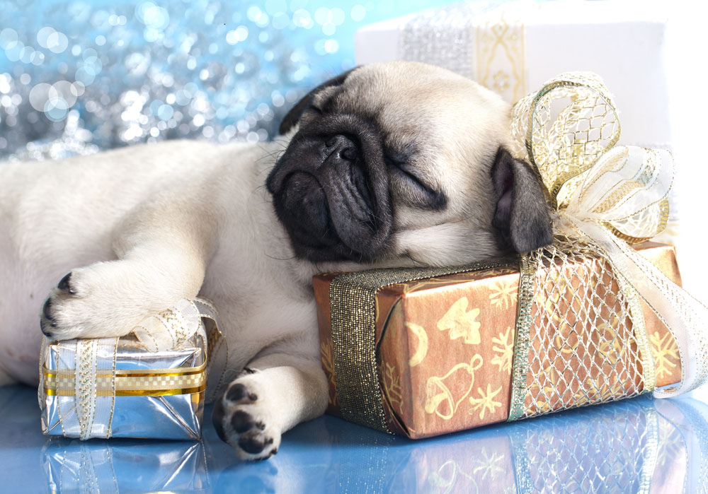 Pugs are great at sleeping
