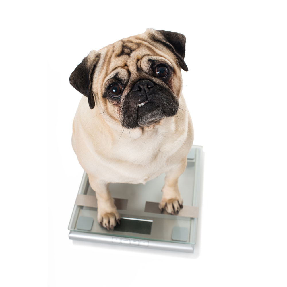 Watch your pug's weight