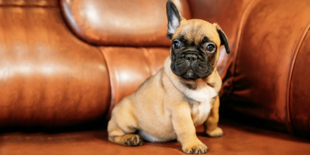 French Bulldog 411 – Is This Breed Right for You?