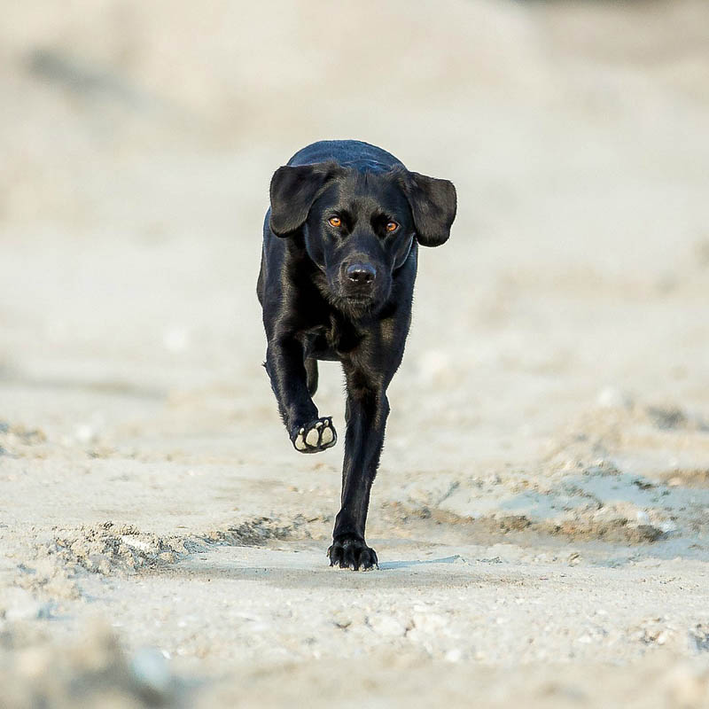 Labs Are Fast Runners