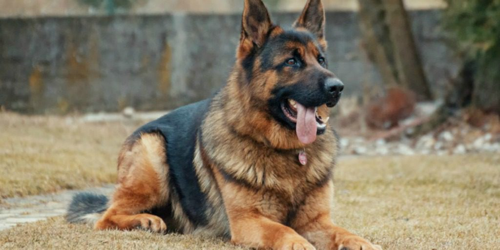 Your 10 Most Popular Questions about German Shepherd Dogs