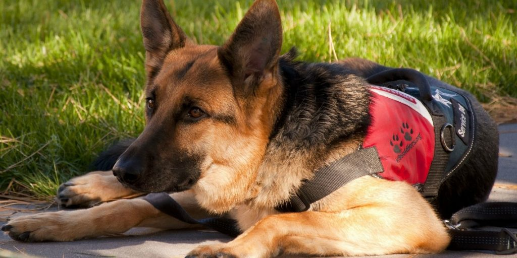 Are German Shepherds the Best Service Dogs?