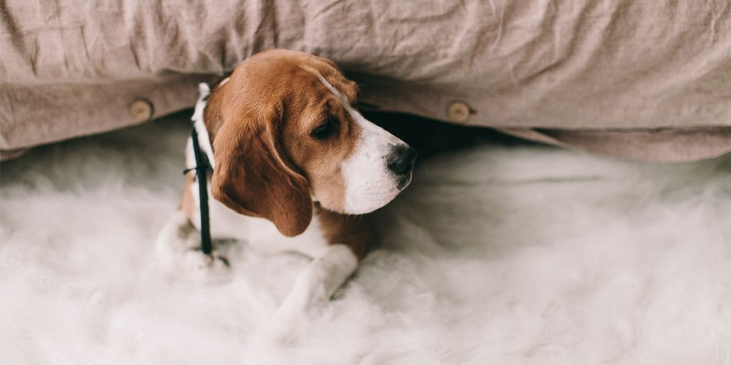 Should You Buy a Pocket Beagle?